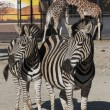 Two zebras and two giraffes — Stock Photo