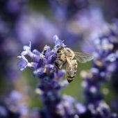 Bee and lavandula flower — Stock Photo