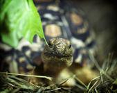 Leopard tortoise (Geochelone pardalis) — Stock Photo