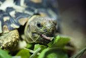 Mountain or leopard tortoise (Geochelone pardalis) — Stock Photo