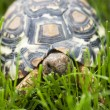 Turtle walking in the green grass — Stock Photo