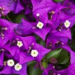Stock Photo: Bougainvillepurple flowers