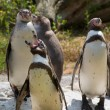 Stock Photo: Humboldt penguins (Spheniscus humboldti)