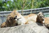 Lioness (Panthera leo) — Stock Photo