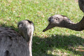 Two emu (Dromaius novaehollandiae) — Stock Photo