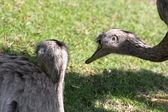 Two emu (Dromaius novaehollandiae) — Stock Photo