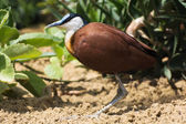 African jacana (Actophilornis africanus) — Stock Photo