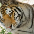 Stock Photo: Siberian Tiger (Panthera tigris altaica)