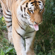 Siberian Tiger (Panthera tigris altaica) — Stock Photo #28031189
