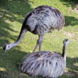 Stock Photo: Two emu birds on grass (Dromaius novaehollandiae)