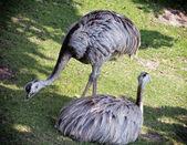 Two emu birds on the grass (Dromaius novaehollandiae) — Stock Photo