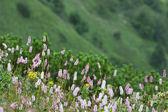 Common bistort (Persicaria bistorta) — Stock Photo