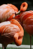 American flamingo (Phoenicopterus ruber) resting — Stock Photo