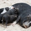 Vietnamese pig with piglets — Stock Photo