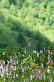 Common bistort (Persicaria bistorta) flowering — Stock Photo