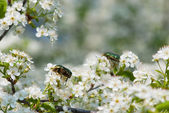 Wild cherry flowers — Foto Stock