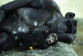 Common chimpanzee (Pan troglodytes) with a cub — Stock Photo