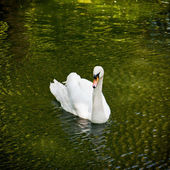 White swan in a pond — Stock Photo