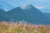 Common bistort (Persicaria bistorta) in the mountains — Stock Photo