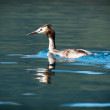 Stock Photo: Great crested grebe (Podiceps cristatus)