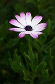 Fialová krásná hlava zahradních květin cínie — Stock fotografie