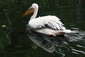 Great white pelican (Pelecanus onocrotalus) on the water — Stock Photo