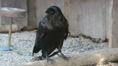 Raven (Corvus corax) — Stock Video