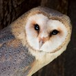 Stock Photo: Barn owl (Tyto alba)