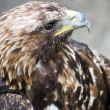 Golden eagle (Aquila chrysaetos) — Stock Photo