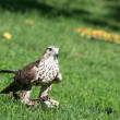 Постер, плакат: Saker falcon Falco cherrug on the grass