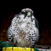 Lanner falcon (Falco biarmicus) — Stock Photo