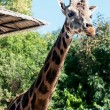 Stock Photo: Rothschild's giraffe (Giraffcamelopardalis rothschildi)