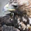 Profile of a Golden eagle (Aquila chrysaetos) — Stock Photo