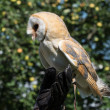 Barn owl (Tyto alba) — Stock Photo