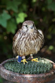The Common kestrel (Falco tinnunculus) — Stock Photo