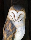 Portrait of a Barn owl (Tyto alba) — Stock Photo