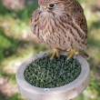Common kestrel on a perch — Stock Photo
