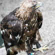 Golden eagle (Aquila chrysaetos) in captivity — Stock Photo