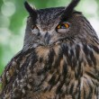 Eagle owl (Bubo bubo) portrait — Stock Photo