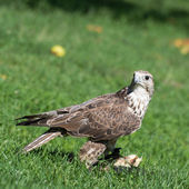 Saker falcon (Falco cherrug) portrait — Stock Photo