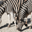 Two Chapmans zebras (Equus quagga chapmani) — Stock Photo