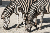 Two Chapmans zebras (Equus quagga chapmani) — Stock Photo