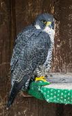 The Peregrine falcon (Falco peregrinus) on perch — Stock Photo