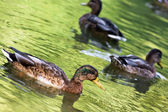 Mallard ducks in the green pond — Stock Photo