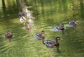 Gruppo di anatre selvatiche mallard nel laghetto verde — Foto Stock