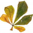 Horse chestnut leaf in autumn — Stock Photo
