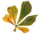 Horse chestnut leaf in autumn — Stock Photo