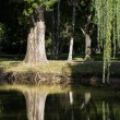 Weeping willow (Salix babylonica) — Stock Photo