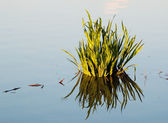 Clump of grass is reflected in a pond — Stock Photo