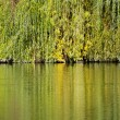 Colorful branches of the weeping willow are mirrored in the pond — Stock Photo